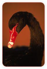 Качки vs. Лебеді